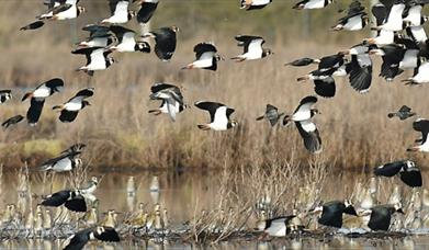 Lapwings at Blue House Farm, North Fambridge